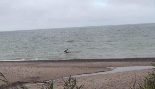 Video: Aculiecinieks Kurzemē nofilmē briedi, kas plunčājas jūrā
