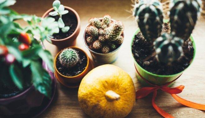 Kopšana ikdienā un ilgtermiņā – mazā rokasgrāmata kaktusu aprūpē
