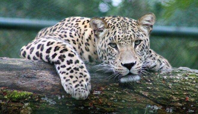 Как львы, тигры и леопарды становятся людоедами?