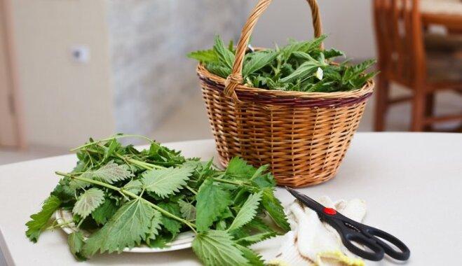 Крапива - советы, как включить в меню этот полезный сорняк