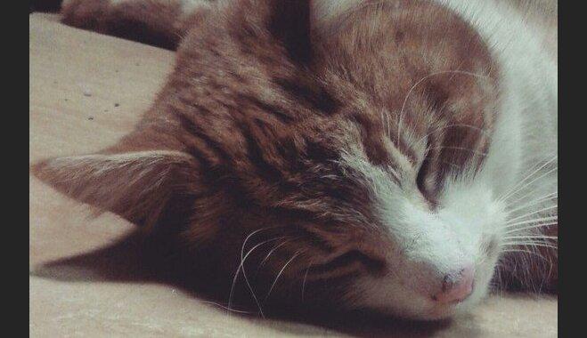 Bez pajumtes var palikt bērnunamā dzīvojošs kaķis Viktors