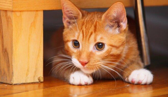 Sešas pazīmes, kas liecina – kaķītis mājās jūtas nedroši