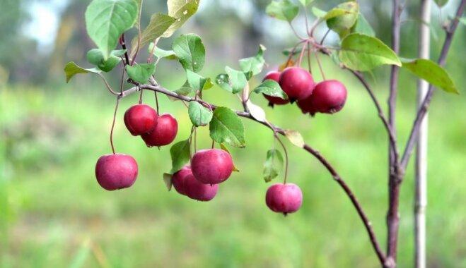 Piemērotākie laikapstākļi, augļa satveršana un glabāšana – padomi ābolu ražas vākšanai