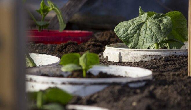 Gurķu audzēšana spaiņos – praktiski un ērti