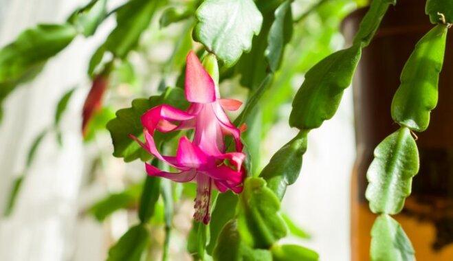 Koši ziedi adatu vietā – Ziemassvētku kaktuss un tā audzēšana