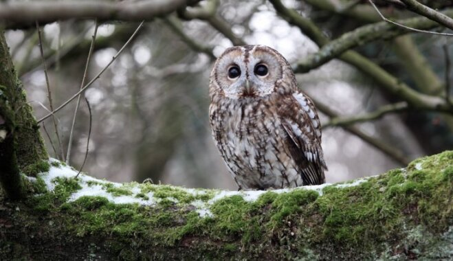 Ķemeru nacionālajā parkā varēs mācīties atpazīt pūču balsis