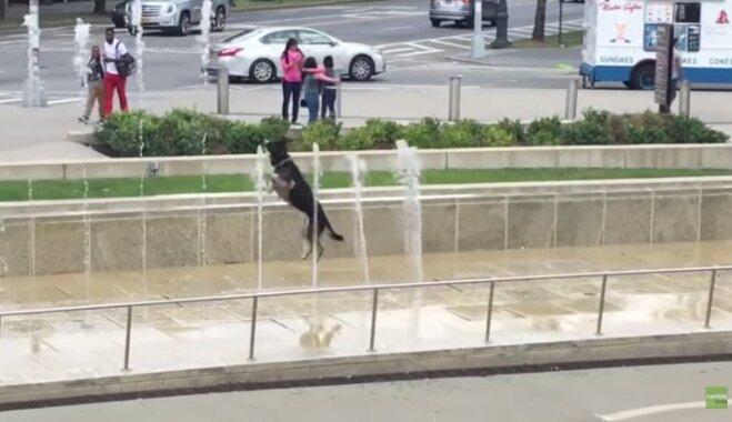 Video: Suns aizrautīgi lēkā un ķer ūdens strūklas