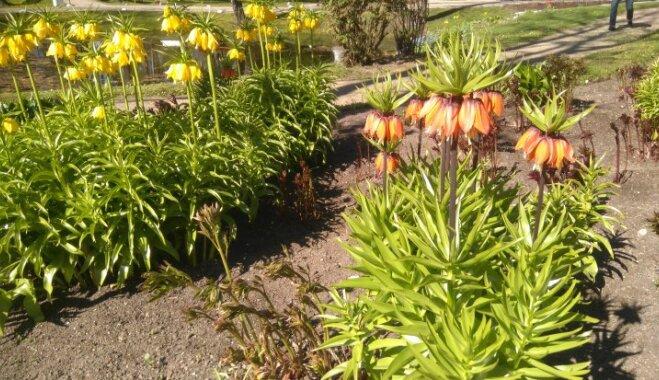 Pavasara skaistules fritilārijas – kā izaudzēt puķudobē