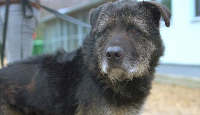 'Arī suņu opji ilgojas'. Mājas meklē cienījamā vecuma mīlulis Tors