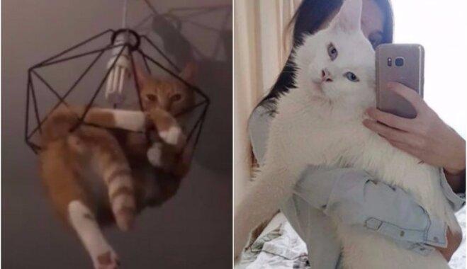 Karājas pie lampas un izaug par milzi – kaķi, kas spējuši pārsteigt saimniekus