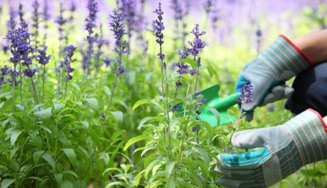 Создаем душистый сад: сажаем лаванду