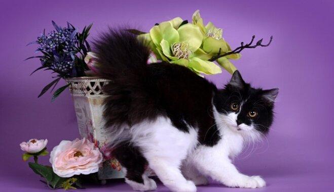 Kaķi, kuru lepnums ir strupa, kupla ļipiņa. Kuriļu bobteili