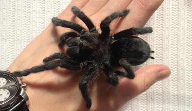 Jauks un pūkains, bet nav kaķis. Tarantuls kā mājas mīlulis – kādēļ gan ne?