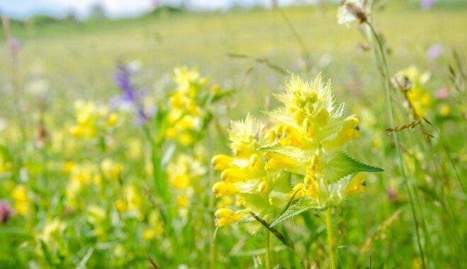 Botāniķi par gada augu izvēlējušies mazo zvaguli