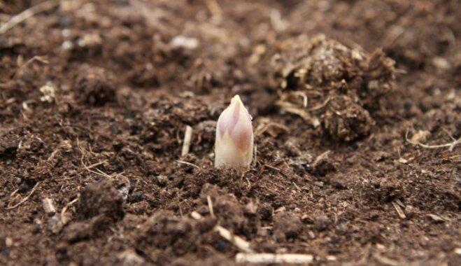 Darbs, kas prasa pacietību – sparģeļu audzētāji no Kalnienas
