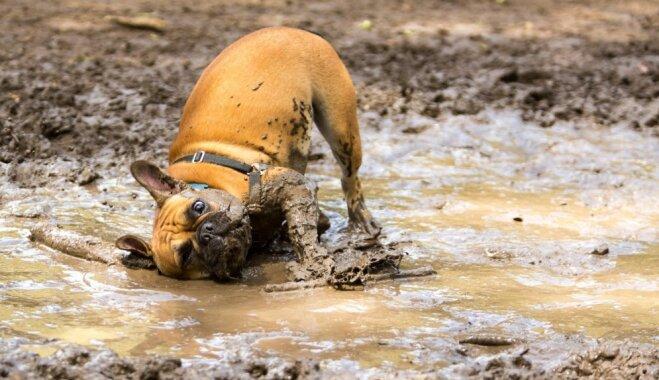 Kāpēc sunim patīk vārtīties dubļos