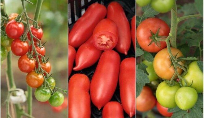 Hibrīdie tomāti brangai ražai: ieteicamais stādu daudzums ģimenes vajadzībām