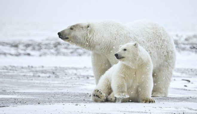 ВИДЕО: На архипелаге Новая Земля ввели режим ЧС из-за нашествия белых медведей