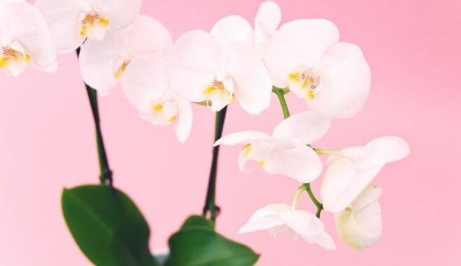 Tālāk no augļu trauka – orhidejām piemērotākās vietas izraudzīšana