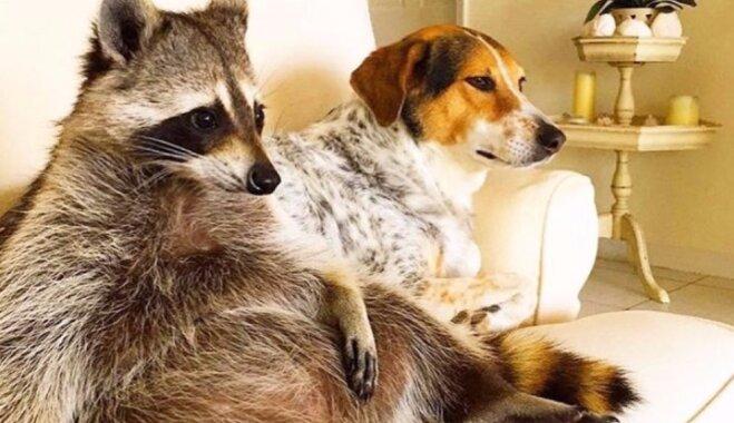 Populārākais jenots internetā – sunim līdzīgā Ķirbīte