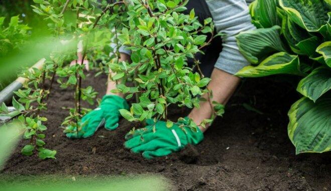 Vēlīnie dārza darbi: kā pareizi stādīt konteinerstādus rudenī