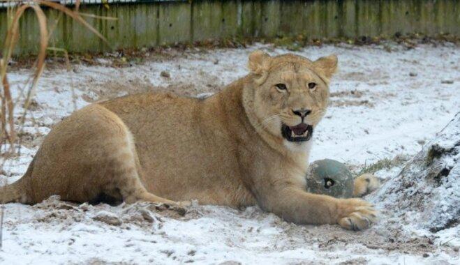 'Īsta francūziete' un tēviņš ar īpašu diētu – kā dzīvo Rīgas zoodārza lauvu pāris