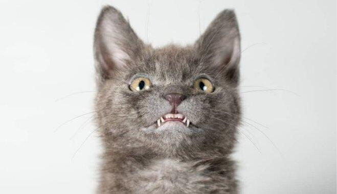 Rāda zobus, bet nekož: simpātiskais runcis Volfijs ar īpatnējo sakodienu