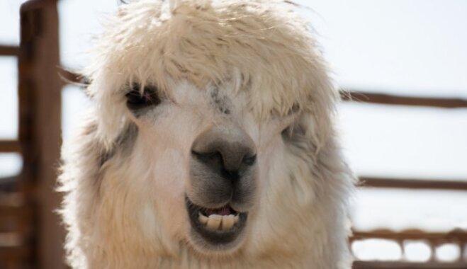 Kadri priecīgai dienai – viltīgi smaidošās alpakas