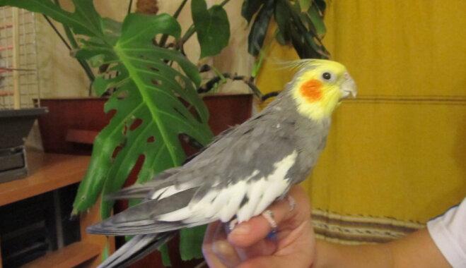 Korella – apķērīgs un sabiedrisks papagailis