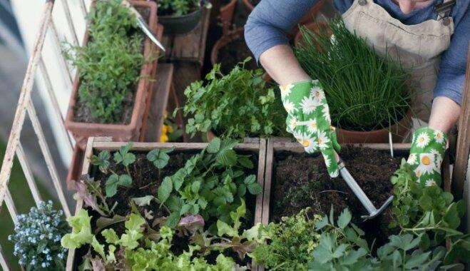 Zāliena kopšana, zaru apzāģēšana un balkona apzaļumošana – pirmo dārza darbu padomi