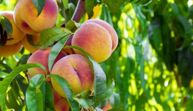 Foto: Aromātisko persiku audzēšana un augļu novākšana pasaulē