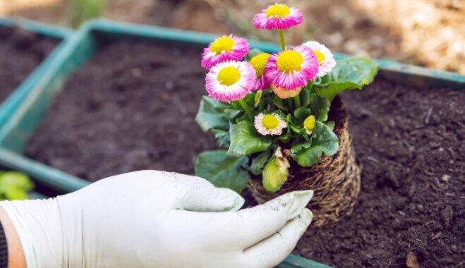 Nepacietīgās mārpuķītes – kā izaudzēt skaisto zāliena rotu