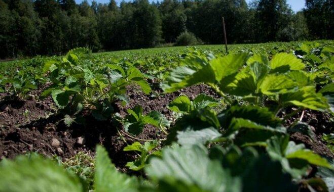 VAAD: maijvaboļu kāpuri posta zemeņu stādījumus