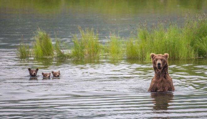 Dienas ceļojumu foto: Aļaskas lāčuki dodas izpeldēties