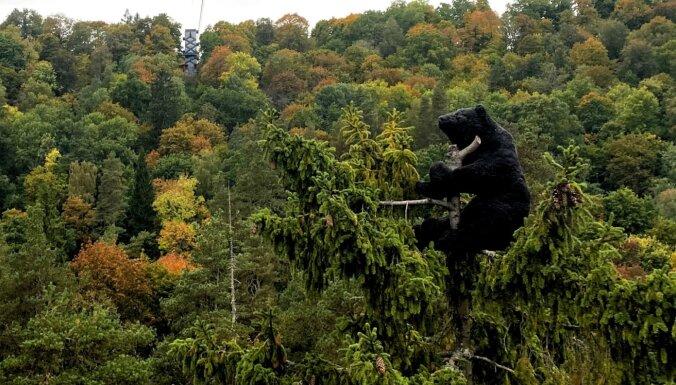 Siguldas vagoniņa lācis ieguvis jaunu veidolu un uzsēdināts koka galotnē