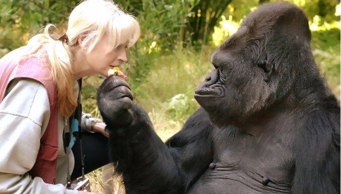 Умерла знаменитая горилла Коко, знавшая язык жестов