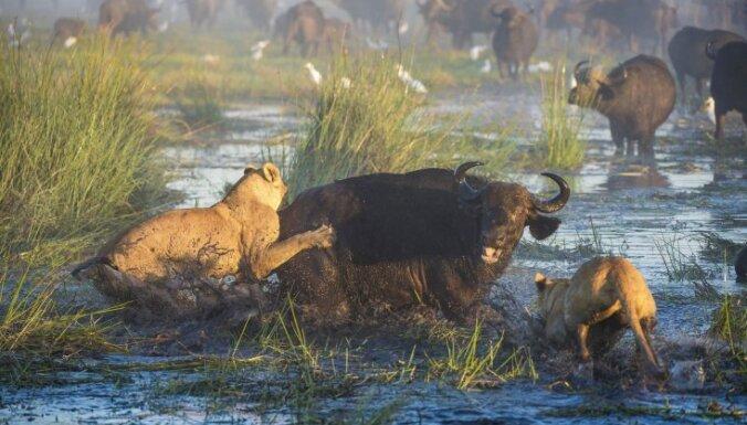 ВИДЕО: Буйвол сумел отбиться от двух голодных львиц