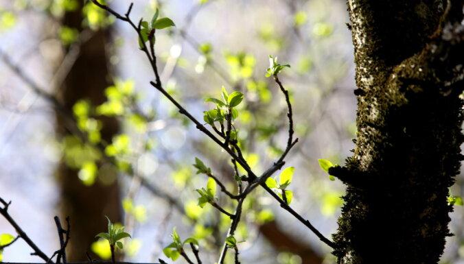 В Риге начинает действовать запрет на вырубку деревьев, штраф — до 1400 евро
