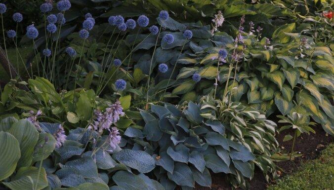 Labākie kaimiņi – ar ko pacietīgās hostas draudzējas Gunas Rukšānes dārzā