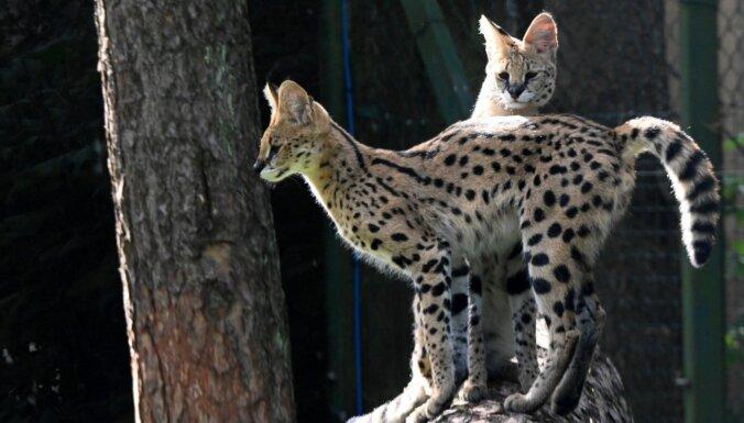 Kā izvēlas dzīvniekus, kuri dzīvos Rīgas zoo