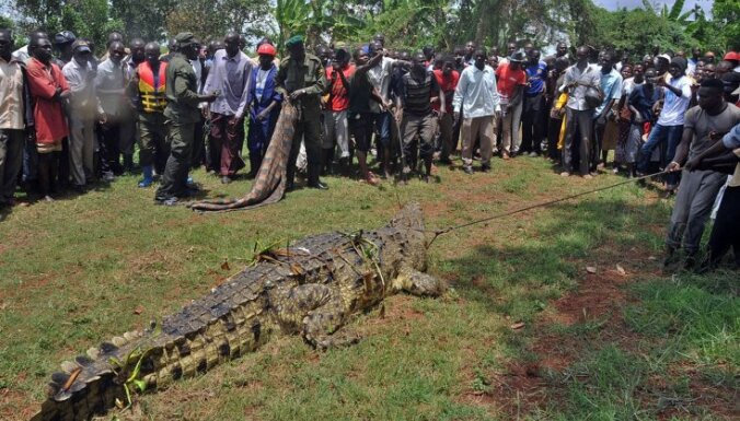 В Уганде пойман крокодил-людоед весом в тонну