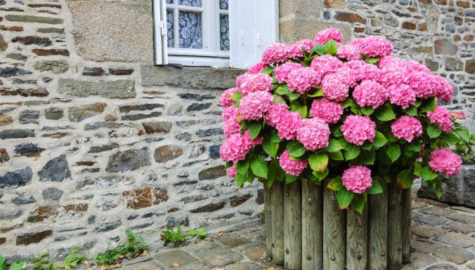 Maģiskās un košās dārza 'bumbas', kas spēj mainīt krāsu, - hortenzijas
