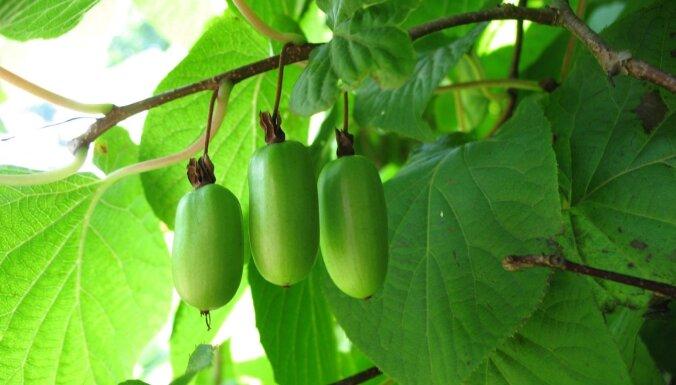 Iesaka eksperte: seši neparasti, bet augļus dodoši augi dārzam
