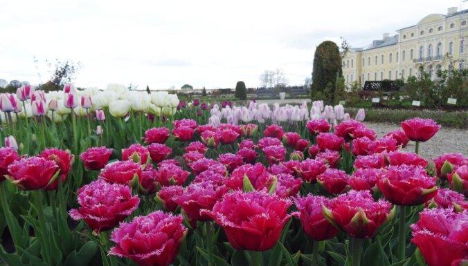 Foto: Rundāles pils dārzu daiļo košas tulpju dobes