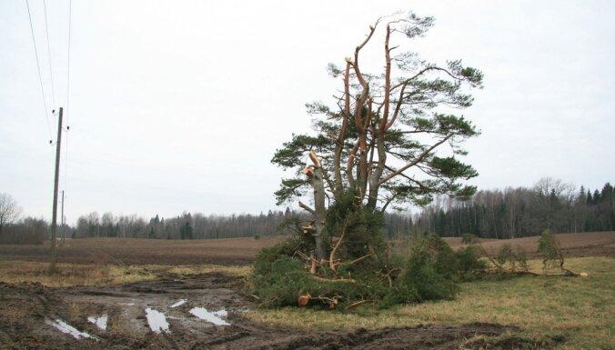 'Skumji līdz asarām' – lasītāju šokē strādnieku apgraizītais koks Kuldīgas pusē