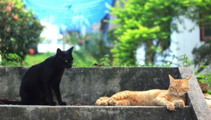Ķecerīgi melns mīlulis – panterai līdzīgais Bombejas kaķis