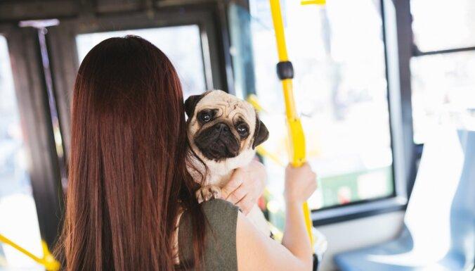 Droši dzīvniekam un cilvēkam: kinoloģe iesaka, kā pieradināt suni braukt sabiedriskajā transportā