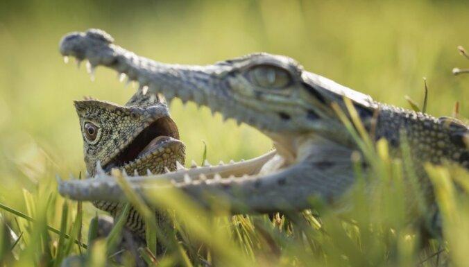 Foto: Neparasti draugi – ķirzaka un krokodils