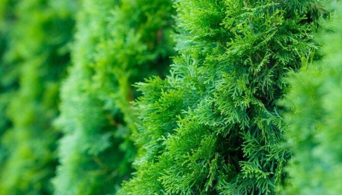 Nav tūjas, nav dārza – kā kopt un audzēt iecienīto skujkoku?