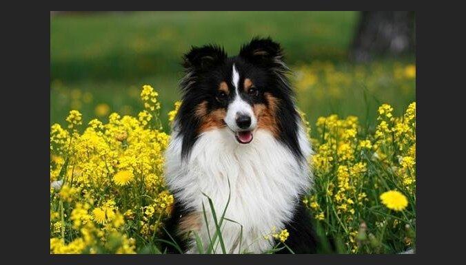 Ветеринары: в Латвии зарегистрировано 109 000 собак, но базу нужно обновлять